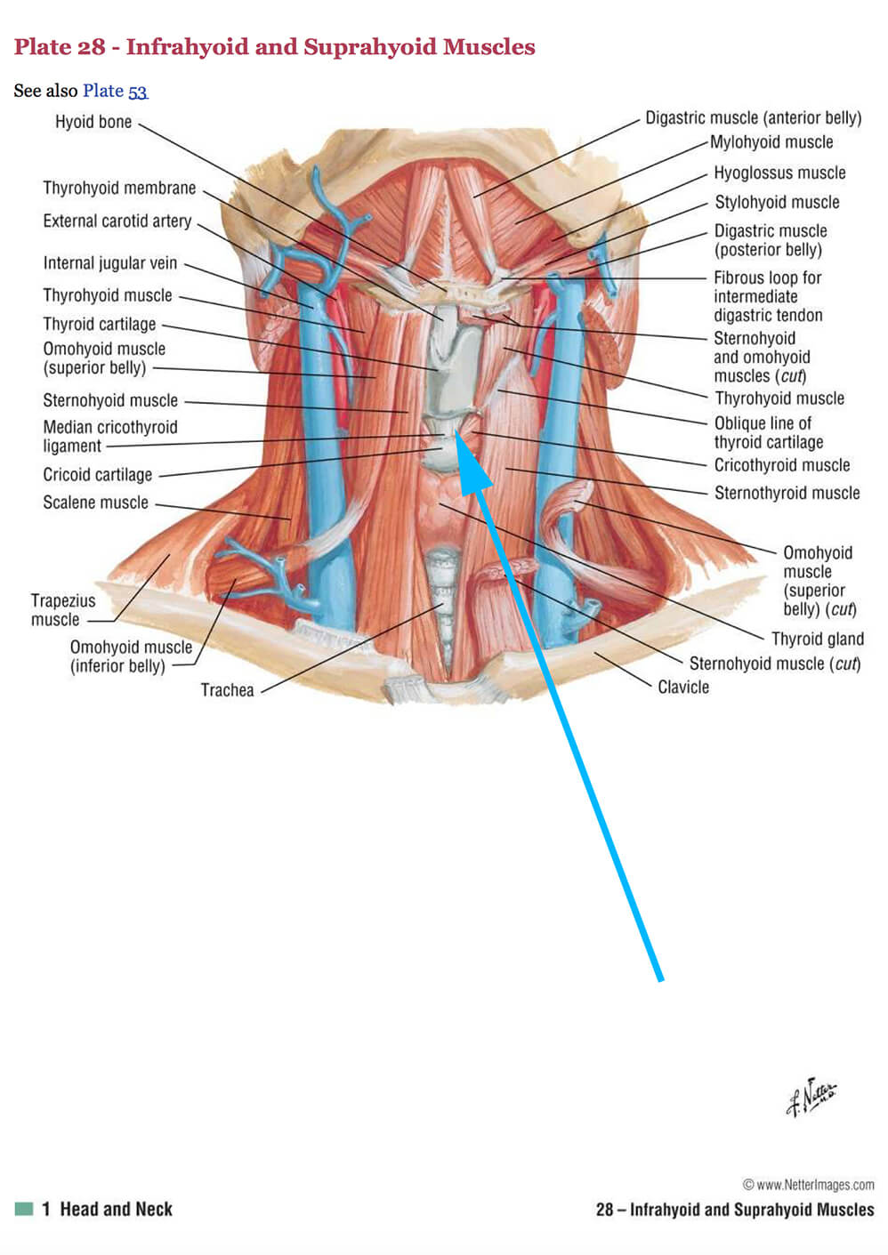 Anatomy of the Neck and Location of Thyroid Cartilage in Chondrolaryngoplasty