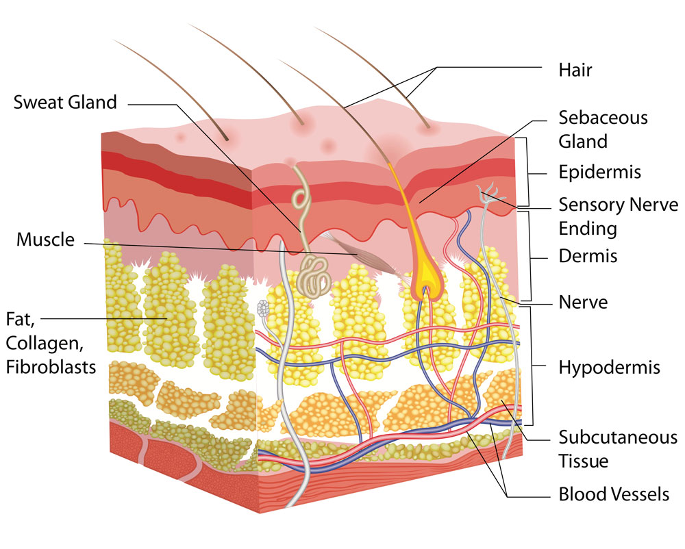 Acne Scar Treatment Skin Anatomy