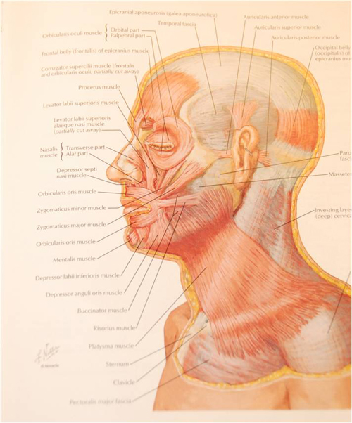 Neck Anatomy Aesthetic Facial Plastic Surgery